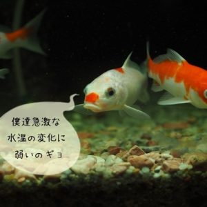 金魚の風邪