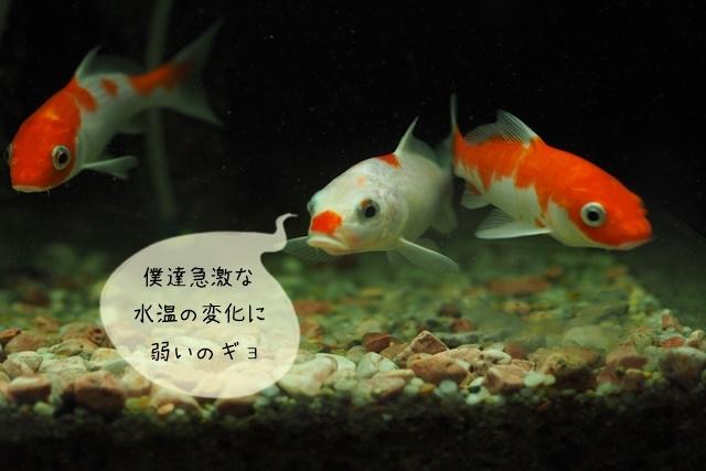 金魚のこんな時は?