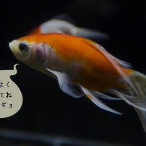 単独の金魚