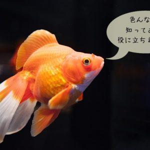 金魚のあれこれ