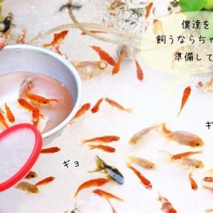 金魚すくいの金魚
