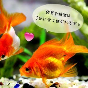 良い親金魚