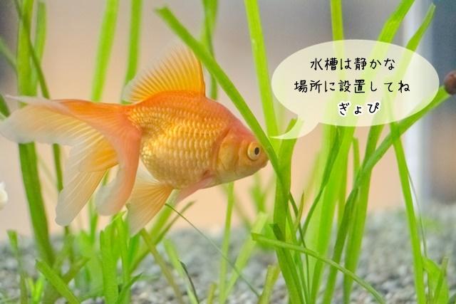 金魚が人影に怯える