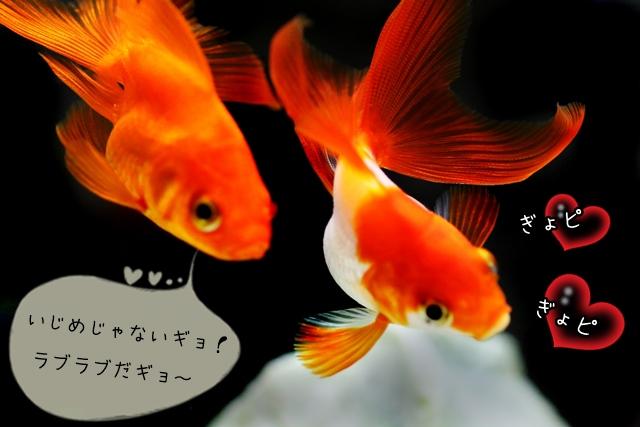 他の金魚を追い回す