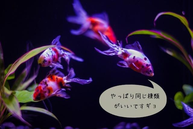 種類の違う金魚
