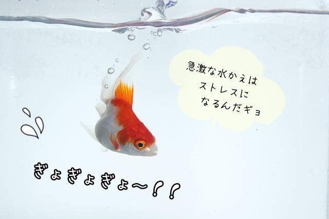 金魚とPH(ペーハー)について