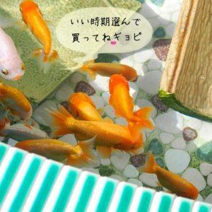 金魚を買う時期と季節
